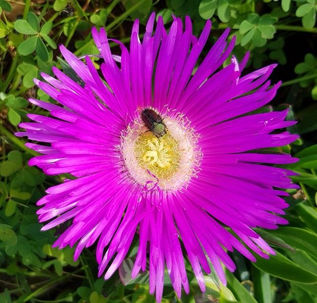 die Speckblume blüht dies Jahr wie nie zuvor