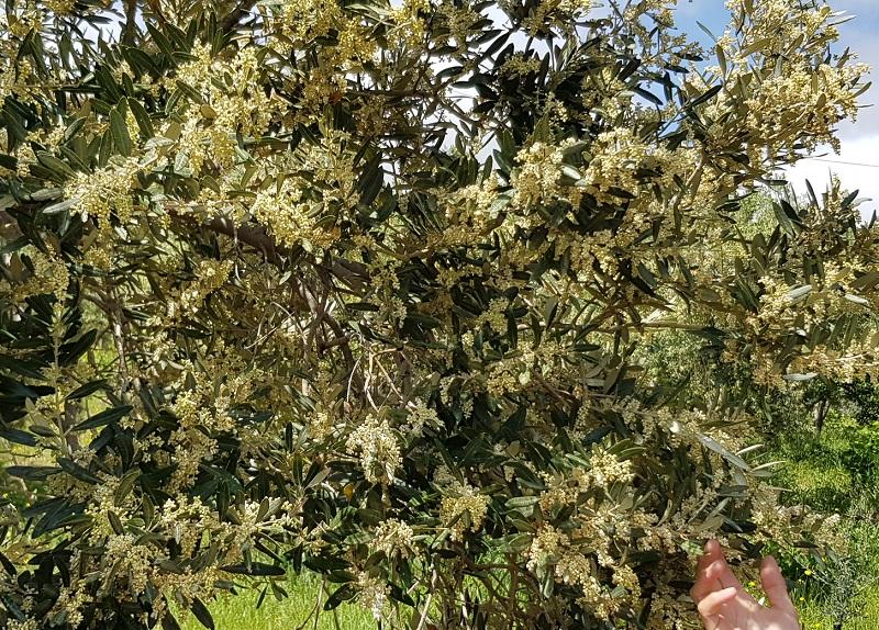 2019 wird eine gute Olivenernte erwartet