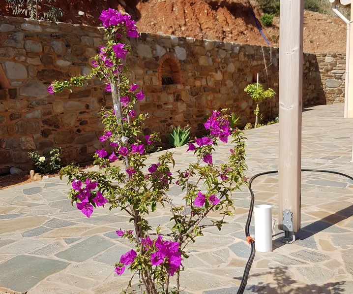 young blooming Bougainvillea