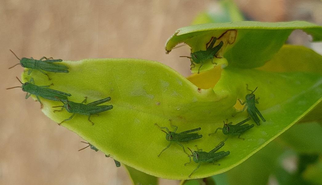 Locusts babies