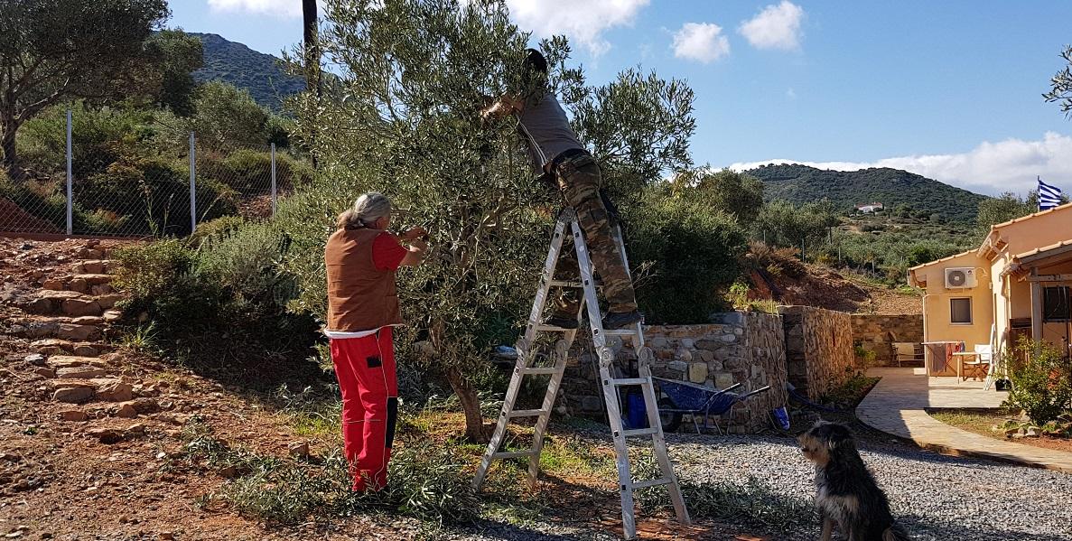 Alex hilft uns die Olivenbäume professionell zu schneiden