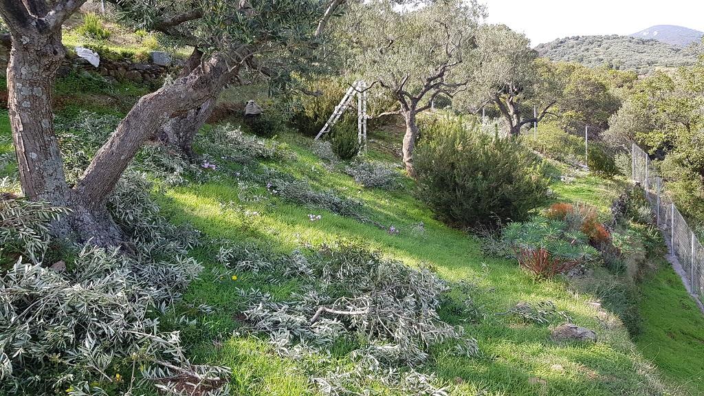 die Olivenbäume sind bereit für die Saison 2019