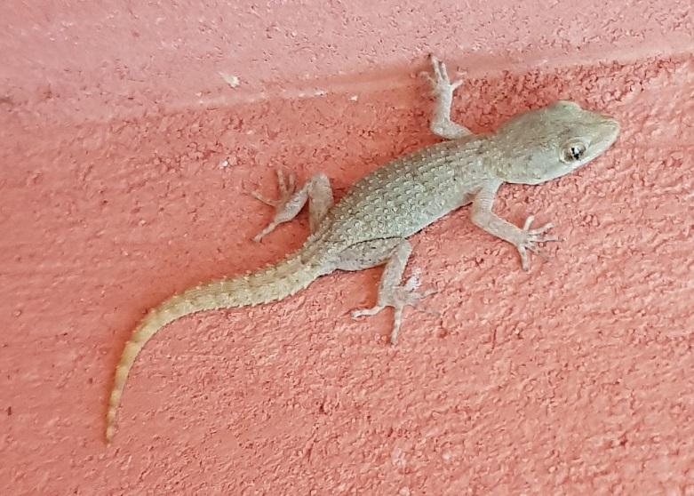 einer von den zahlreichen Gecko an der Hauswand