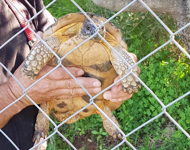aus dem Zaun befreit: Momo (unsere freilebende griechische Landschildkröte) ca. 40 Jahre alt, kommt immer wieder bei uns vorbei