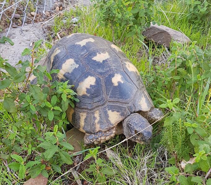 Momo (unsere freilebende griechische Landschildkröte) ca. 40 Jahre alt, kommt immer wieder bei uns vorbei